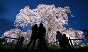 福島「三春滝桜」が満開