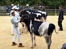 乳牛の改良成果競う チャンピオンに松本、古川さん