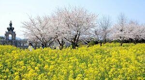 桜と菜の花、宮殿を模した建物が共演=有田町の有田ポーセリンパーク