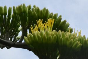 黄色い花を咲かせたリュウゼツラン
