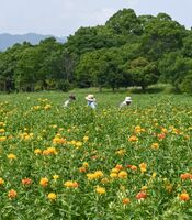 見頃を迎えたベニバナ=吉野ケ里歴史公園