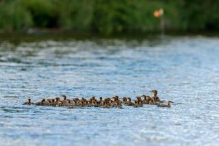 母ガモ、76羽の子を引き連れ
