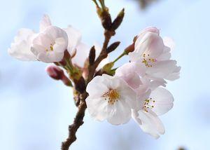 開花した佐賀地方気象台の標本木のソメイヨシノ=23日午前、佐賀市駅前中央
