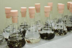 フラスコに入ったさまざまな株のノリの種子(フリー糸状体)。スサビノリは遺伝的に類似していることが分かった=佐賀大提供