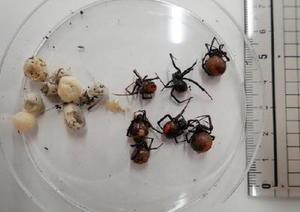鳥栖市本鳥栖町の鳥の里公園などで発見されたセアカゴケグモ(佐賀県提供)