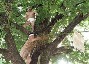 旗が付いた竹を、木の上に引き上げる男衆=みやき町の綾部八幡神社(撮影・米倉義房)