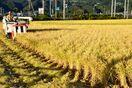 実りの秋にコロナの影 外食向け需要低迷…米価下落
