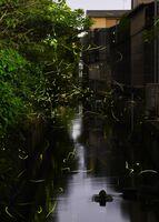 住宅街の間を流れる小川で明滅を繰り返すホタル=佐賀市伊勢町(長時間露光撮影)