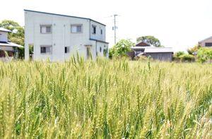 陸上自衛隊ヘリ墜落事故現場の集落。発生から3カ月となり、周辺の畑では麦の穂が風に揺れる季節になった=神埼市千代田町
