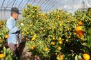 ハウスキンカン収穫最盛期 佐賀市大和町 雨少なく糖度十分