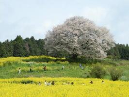 満開を迎えた「馬場の山桜」。菜の花との競演が美しい=武雄市武内町(9日)