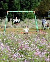 見ごろを迎えた金立公園のコスモス園。園内のブランコで遊ぶ若者=佐賀市