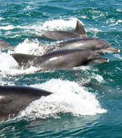 海面を泳ぐイルカの群れ=長崎県南島原市沖の早崎