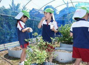 収穫したばかりのブルーベリーを味わう園児=みやき町の原種苗園