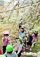 暖かい日差しの下、ほころび始めた梅の花を楽しむ園児=武雄市の御船が丘梅林
