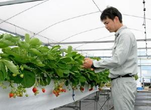 研究開始から丸3年を迎えた夏秋イチゴ。周年栽培を実現し、農家の所得向上につながることが期待される=唐津市鎮西町の県上場営農センター