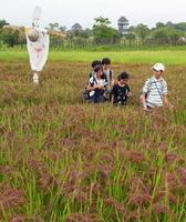 こうべを垂れ、実りの秋を迎えた赤米。長崎から修学旅行で訪れた小学生も、あぜ道で散策を楽しんでいた=神埼市郡の吉野ケ里歴史公園