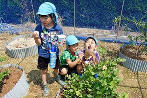 ブルーベリーの収穫に挑戦し、積み立てのおいしさを味わう園児たち=みやき町中津隈の畑