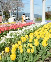 黄色や赤などの花を咲かせ、例年より早く満開を迎えた今山地区のチューリップ園=佐賀市大和町