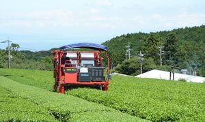 九州アグリコール太良が手がける茶園。伊藤園が栽培技術を指導し、生産した茶葉は全量買い取っている=藤津郡太良町