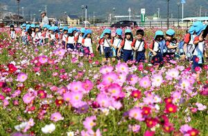 コスモス畑の中を一列になって散策する園児たち=神埼市のJR神埼駅前