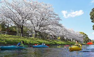 満開になった桜の下をカヌーで下る参加者=2日、佐賀市の多布施川沿い