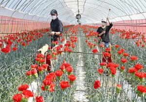 丹念に育てたカーネーションを収穫する生産者=佐賀市東与賀町(撮影・米倉義房)