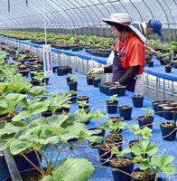 白石地区いちごトレーニングファームでは環境制御技術を使った栽培が行われている