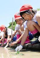 菱の苗を水田に植え付ける千代田中部小の児童たち=神埼市千代田町