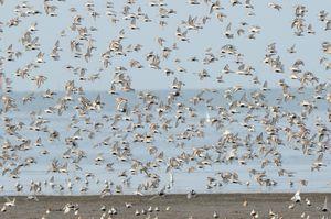 大群で飛ぶハマシギ=4月28日午前7時45分、佐賀市東与賀町
