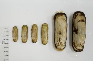 県有明水産振興センターが10月中旬に採取したアゲマキ(左4個)。殻長は約4~5センチで、放流した稚貝が成長したものと思われる。右2個はセンター内で育てている産卵用の親貝