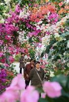 白、ピンク、紫、赤など色とりどりのトンネルを作るブーゲンビリア=嬉野市の「ブーゲンハウス嬉野」