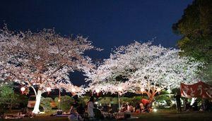 幻想的に照らし出される桜の木々(昨年のライトアップの様子)