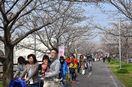 徐福ロードで桜まつり 春の訪れ満喫