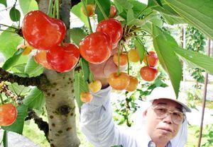 妻の秀子さんが楽しみにしている重夫さんのサクランボが今年も赤く色付いた=伊万里市大川町相の谷地区