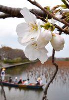 咲き始めたソメイヨシノ=佐賀市の佐賀城公園南堀