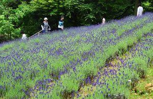 丘一面を紫色に染めるラベンダー=有田町のチャイナ・オン・ザ・パーク