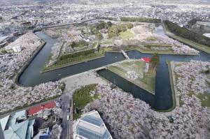 ソメイヨシノが満開となり、星形の城郭がピンク色に染まった五稜郭公園=1日午後、北海道函館市