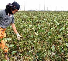 台風による塩害で、枯れ始めた大豆=2019年9月30日、佐賀市川副町大詫間