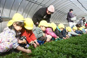 七草を収穫する園児たち=佐賀市富士町の畑瀬農園