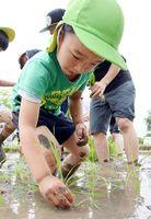 真剣な表情で稲を植える園児=吉野ケ里歴史公園