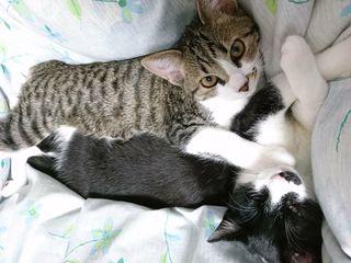 <譲ります>猫 生後5カ月の雑種(白茶キジ、白黒ハチワレ・各雌1)