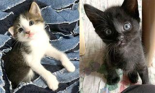 <譲ります>猫 生後50日の雑種(白黒キジ・雌1、黒・雌1)