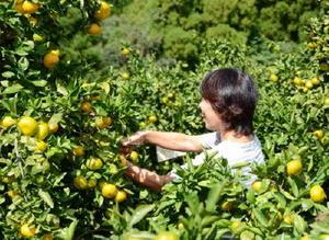 実ったみかんを収穫するオーナー参加者=多久市南多久町