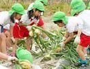 江北ひかり保育園 園児がタマネギ収穫