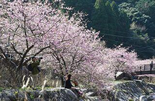 【動画】川沿い、春色に染める河津桜 相知町「ほたる橋」