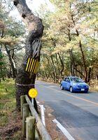 危険性が高いとして、県が早急な伐採を求めている13本のうちの1本=唐津市の虹の松原