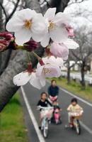 陽気に誘われるように咲き始めたソメイヨシノ=佐賀市の徐福サイクルロード