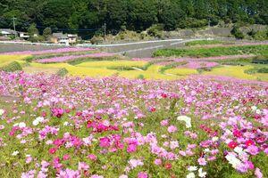 黄色がかった稲穂とピンクや白のコスモスが共演する棚田=有田町山谷切口