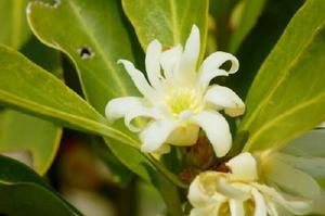 抹香や線香の原料に用いられるシキミ